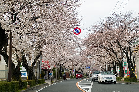 藤が丘の桜