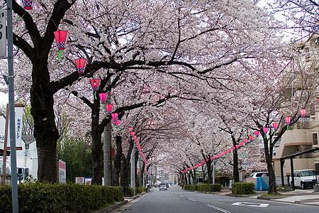 マルス裏の桜トンネル