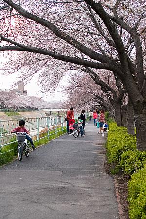 香流川の桜と近所の人たち
