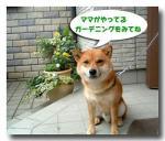 daishiba