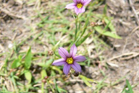ニワゼキショウ(紫)