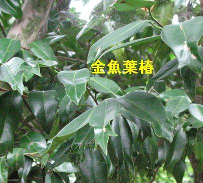IMG_0065金魚葉つばき