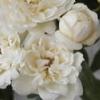 木香薔薇:白